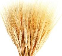 8157-hd-wheat-crop-material.jpg